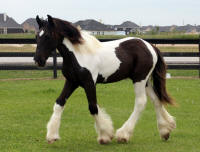 Everest, 2012 Gypsy Vanner Horse colt