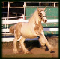 Cici's Evie, 2008 Gypsy Vanner Horse filly