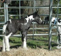 Fancy Filly, 2008 Gypsy Vanner Horse foal
