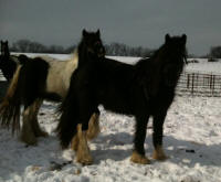 Gypsy Park Fantasy, 2008 Gypsy Vanner Horse filly