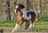 Fiametta, 2014 Gypsy Vanner Horse filly