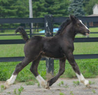 N'Co Mr. Bikers Legendary Final Tour, 2015 Gypsy Vanner Horse colt