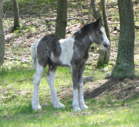Feathered Gold Finn Tastic, 2011 Gypsy Vanner Horse colt