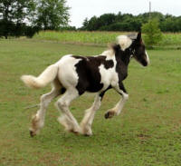 Feathered Gold Finnley, 2014 Gypsy Vanner Horse colt