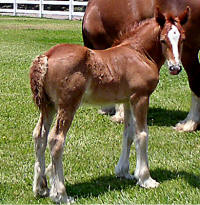 Gaelic Flame, 2008 Gypsy Vanner Horse colt