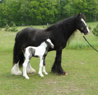 Feathered Gold Lady Romance, 2011 Gypsy Vanner Horse filly