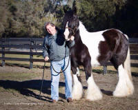 GG Fred Walker, 2007 Gypsy Vanner Horse mare