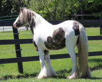 Kastle Rock's Freya, 2014 Gypsy Vanner Horse filly