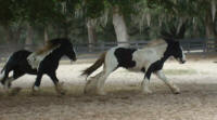 VV Prince William, 2007 Gypsy Vanner Horse colt