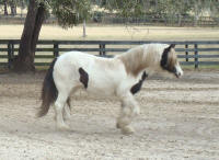 My Girl, 2007 Gypsy Vanner Horse mare