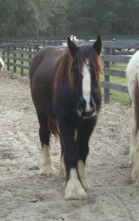 GG Black Beauty, 2007 Gypsy Vanner Horse filly