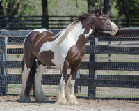 GG Chloe, 2014 Gypsy Vanner Horse filly