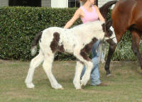 GG Fendi, 2008 Gypsy Vanner Horse filly