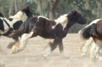 GG Versace, 2007 Gypsy Vanner Horse colt
