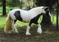 GVR ER Amazing Grace by Bok, 2007 Gypsy Vanner Horse filly