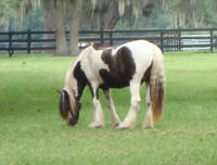 GVR Eve, 2006 Gypsy Vanner Horse filly