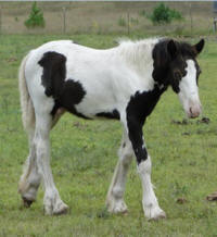 Feathered Gold Gabriel, 2011 Gypsy Vanner Horse colt