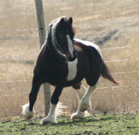 Rock Ranch Gemma, imported Gypsy Vanner Horse mare