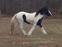 Gidion, Gypsy Vanner Horse yearling colt