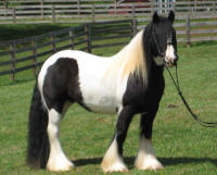GG Girly Girl, 2008 Gypsy Vanner Horse mare