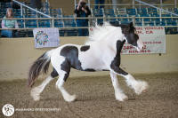 Giselle, 2016 Gypsy Vanner Horse filly