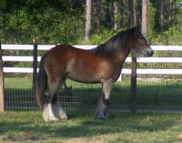 Princess, 2007 Gypsy Vanner Horse filly