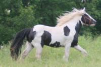 KD's Good Times, 2011 Gypsy Vanner Horse stallion