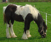 Grace, Gypsy Vanner Horse filly in Denmark