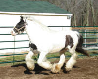 Grianne, imported Gypsy Vanner Horse mare