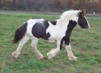 MNM The Guardian, 2007 Gypsy Vanner Horse colt