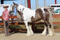 Majestic's Lady Guinevere, 2009 Gypsy Vanner Horse mare