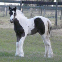 Caravanner's Avian, 2013 Gypsy Vanner Horse filly