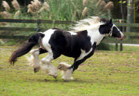 The Road Sweeper, imported Gypsy Vanner Horse stallion