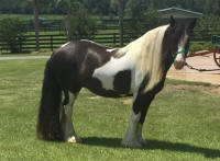 GG Wings of Harmony, 2007 Gypsy Vanner Horse mare
