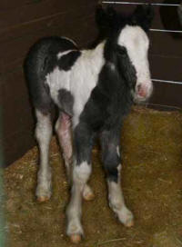 GG Wings of Harmony, 2007 Gypsy Vanner Horse filly