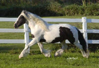 Harriet, imported Gypsy Vanner Horse mar