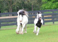 Shampoo Girl & Seventh Heaven, Gypsy Vanner Horse mare & filly