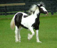 Seventh Heaven, Gypsy Vanner Horse filly