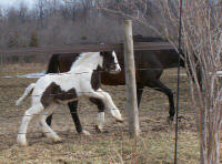 GG Party Girl, 2006 Gypsy Vanner Horse filly