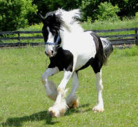 Feathered Gold Hemi, 2013 Gypsy Vanner Horse colt