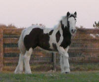 Caravanner's Her-Eyez-In-Blue, 2013 Gypsy Vanner Horse filly