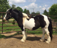 Hermit's Angelina, imported 2008 Gypsy Vanner Horse mare