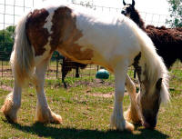 RRTF Hershey Kisses, 2007 imported Gypsy Vanner Horse filly