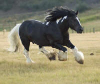 The Hustler, 2001 imported Gypsy Vanner Horse stallion