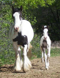 Feathered Gold Grand Illusion, 2009 Gypsy Vanner Horse colt