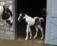 Gypsy Park Illusion, 2008 Gypsy Vanner Horse colt