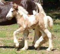 Imperial's Platinum Rendition, 2016 Gypsy Vanner Horse filly