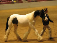 Little Miss Independence, 2011 Gypsy Vanner Horse filly