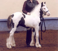 Independence, 2009 Gypsy Vanner Horse colt