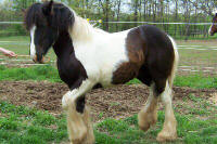 MNM Princely Inheritance, 2005 imported Gypsy Vanner Horse colt